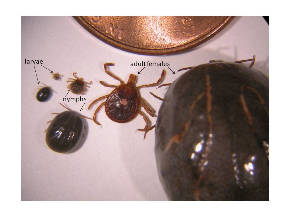 Tick Biology - The TickApp for Texas and The Southern Region